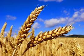wheat tom o bryan